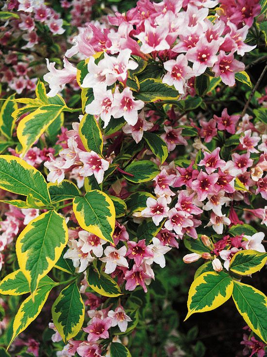 70 best deciduous and flowering trees and shrubs images on for Tall flowering shrubs