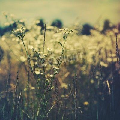 Dzikie kwiaty na łące. tła środowiskowe na obrazach Redro. Najlepszej jakości fototapety, naklejki, obrazy, plakaty, poduszki. Chcesz ozdobić swój dom? Tylko z Redro