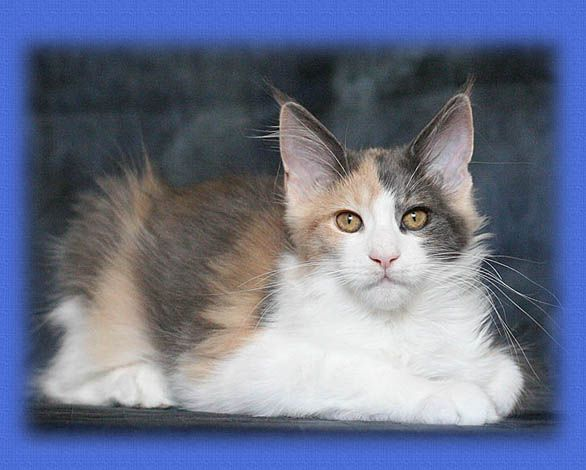 Maine Coon, blue torti solid & white (g 09). Chamberlain Stolen Heart.