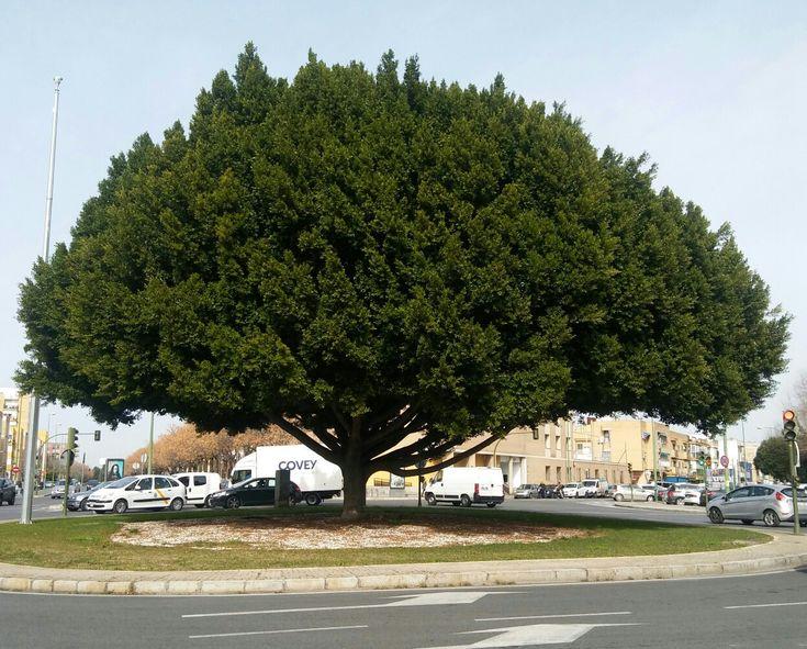 El árbol gigante sobre el que giramos tooodos los que vivimos en mi barrio 🌇🌇🌇