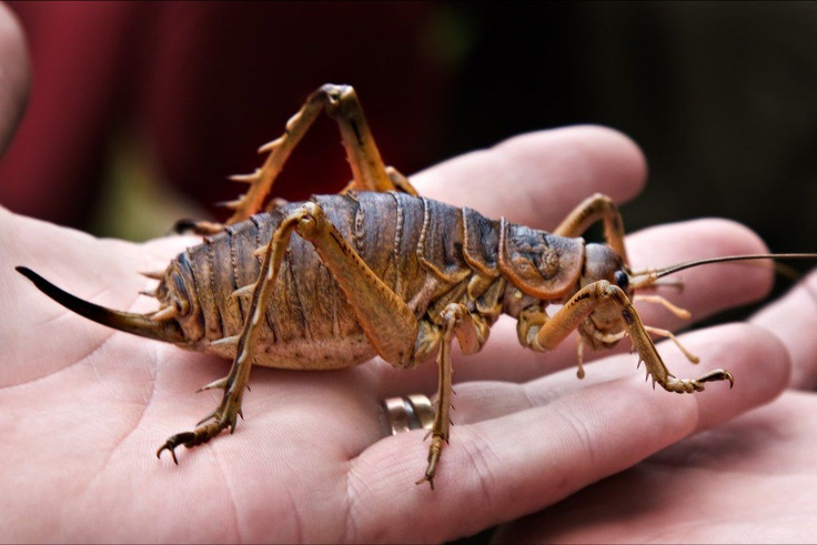New Zealand Weta. For a FREE study New Zealand consultation, contact EIG today at: info@imelite.org