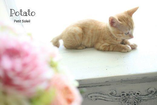 茶トラ子猫 red tabby cat