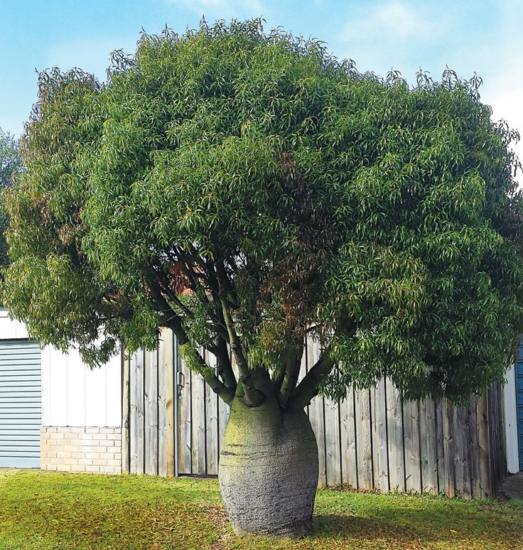 Brachychiton rupestris Queensland Bottle Tree