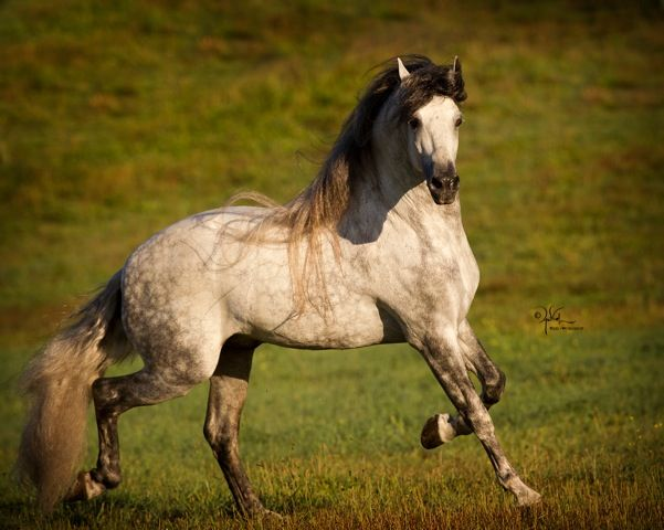 produced by crossing Andalusian and Friesian breeds (my two favourite horse breeds!)