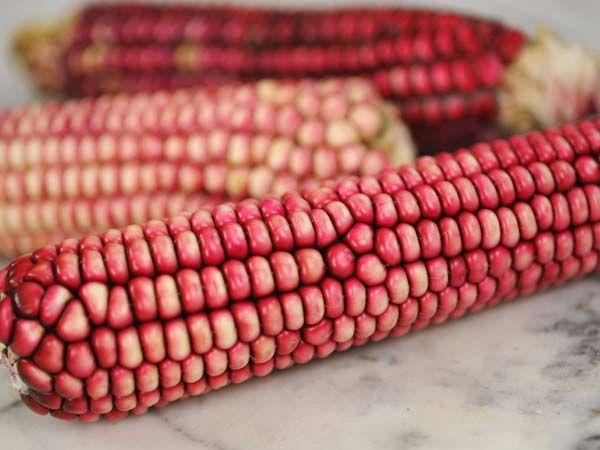 Hopi Pink Flour Corn | Baker Creek Heirloom Seeds