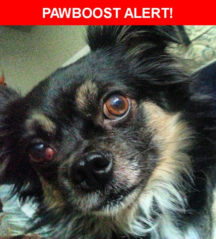 Please spread the word! Tonka was last seen in Carmichael, CA 95608.  Description: Male, long hair chihuahua mix, black and tan/cream coloring, tattoo on belly, cherry-eye in one eye. Went missing in Auguast of 2013, possibly stolen. Sighting @ Noah's bageLs  Nearest Address: Noah's Bagels, Fulton Avenue, Sacramento, CA, United States