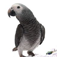 Timneh African Grey Bird Species - Scientific Name:  Psittacus timneh Size:  Medium 9 inches Native Region:  Africa Life Expectancy:  up to 50 years Noise Level:  Moderate Talk/Trick Ability:  Known as the Einstein's of the bird world, African greys have excellent talking ability.