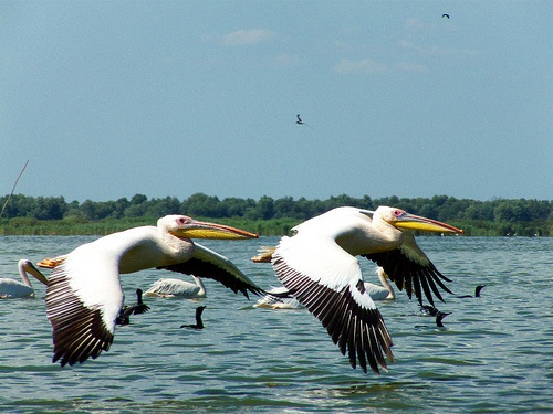Pelicans in the Danube Delta