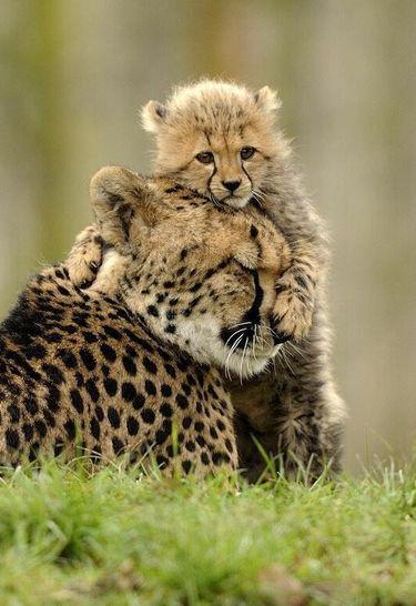 Baby Cheetah hugging his mother