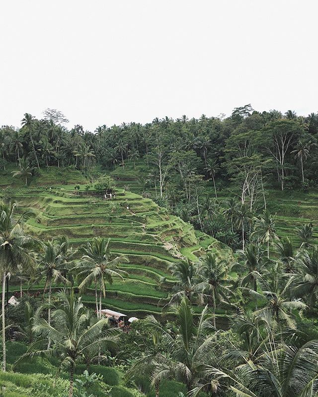 Located just 10 minutes from Puri Gangga Tegallalang is one of the most striking examples of terraced agriculture in the world. The view is surreal and Bali's oldest most complex example of the Subak rice terrace system of agriculture. Explore Tegalalang with us   pic by .  Ask for special rates to:  stay@puriganggaresort.com .  A HOME IN A LIVING CULTURE.  Lets keep the Tradition Alive  . #ウブド  #バリ #بالي #Бали  #발리  #hotelgoals  #Bali #Ubud #Sebatu #wonderful_places #beautifulhotels…