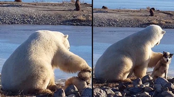 Dünyanın en şefkatli kutup ayısı ve korkusuz kızak köpeğinin görüntülerine çok şaşıracaksınız <3 Detaylar ajanimo.com'da..  #ajanimo #ajanbrian #hayvan #animal
