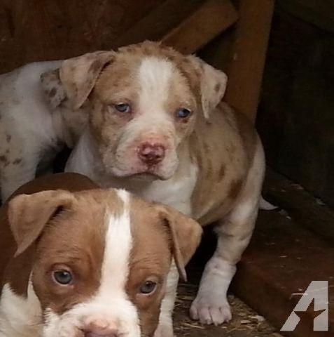 Exotic & Gorgeous Cream/Lilac Merle CKC Female Pitbull Pup
