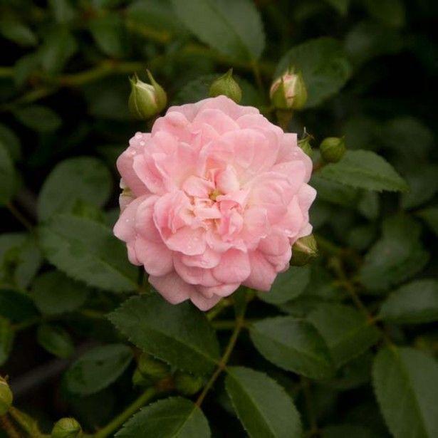 Rosier Couvre Sol The Fairy - Un rosier inratable, à l'aise partout, jamais malade et très sobre - Floraison en bouquets rose tendre, interminable.