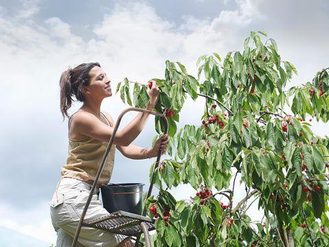 Stock Photo : Woman picking cherries from tree