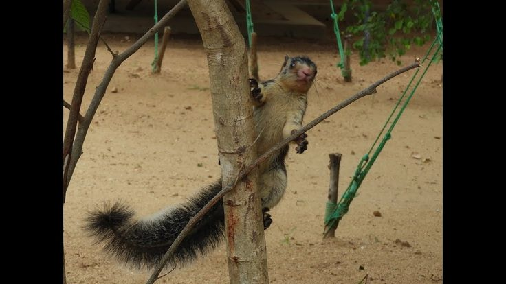 Giant Squirrel. Video by Deepal Dissanayaka. Tree Tops Jungle Lodge