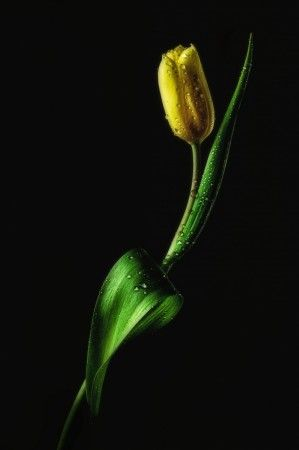 Tulip by joe Conroy