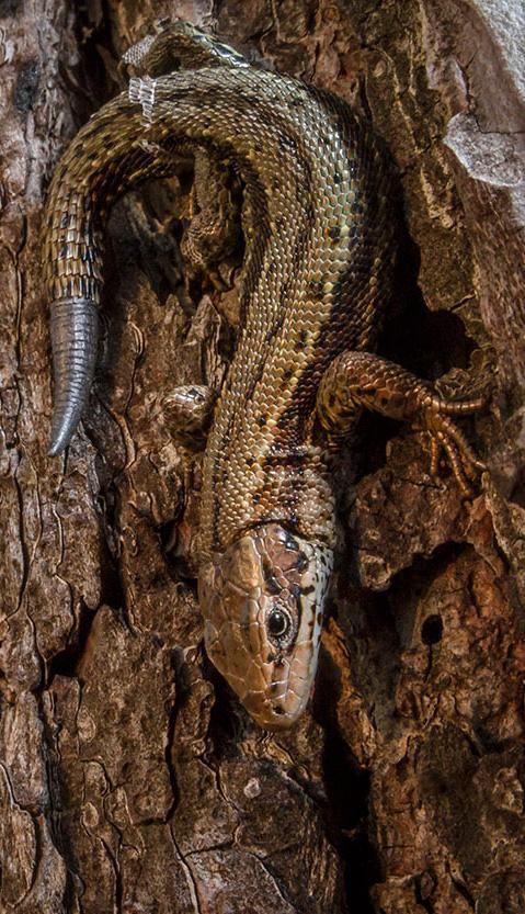 """Common Lizard"" by William Harvey"