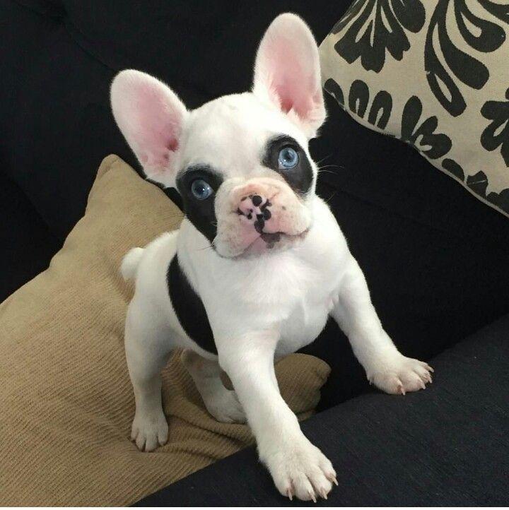 Baby Blue Eyed French Bulldog Puppy Buldog French Bulldog