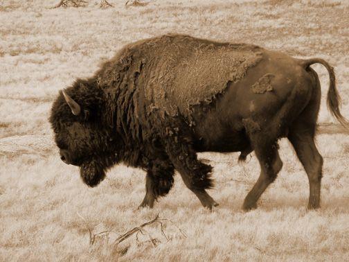 Bison sex