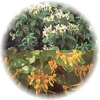 Honeysuckle - uses for the flowers and flower buds - mild resp issues, coughs, headache. Contains salicylic acid, Vitamin B8, and more.