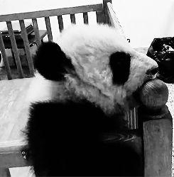 Panda Extinction Funny Gif #9791 - Funny Panda Gifs  Funny Gifs  Panda Gifs