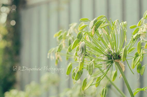 Agapanthus by RDiepenheimFoto on Etsy, $10.00