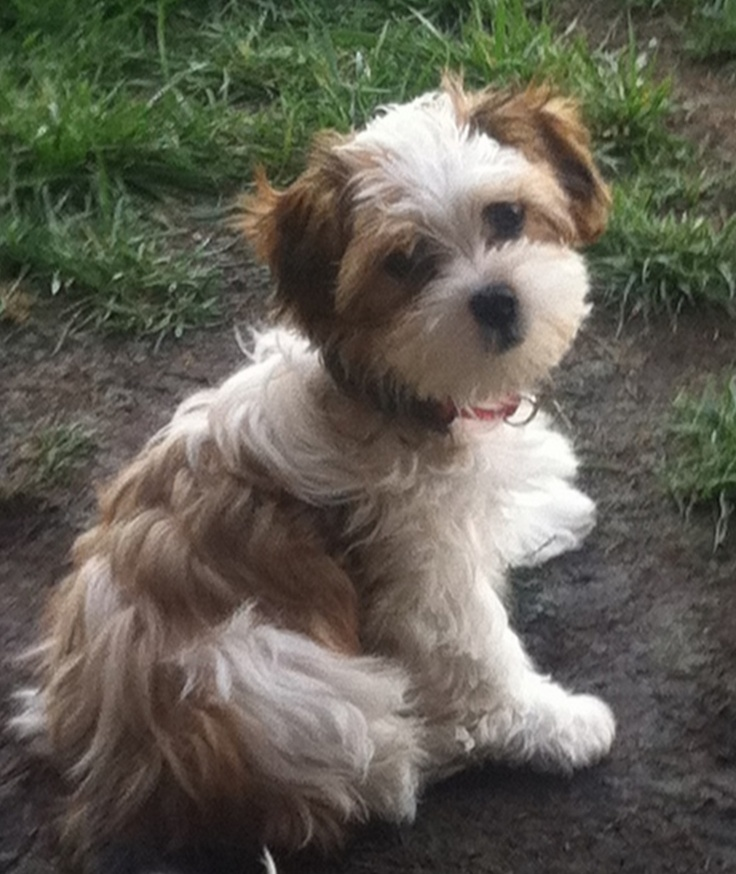 Pictures Of Puppy Cuts For Shih Poos | girl shih tzu