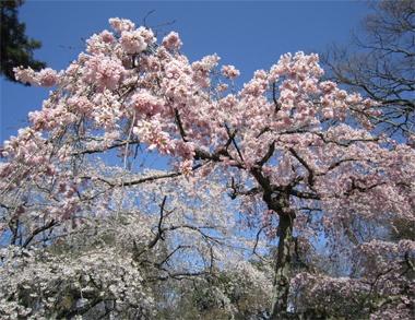 二条城のしだれ桜。日本人で良かったと心底思える桜の時期。花を愛でることが年間行事になっているなんてステキです。 (水戸)【Numero TOKYO編集長 田中杏子】    http://lexus.jp/cp/10editors/contents/numero/index.html    ※掲載写真の権利及び管理責任は各編集部にあります。LEXUS pinterestに投稿されたコメントは、LEXUSの基準により取り下げる場合があります。