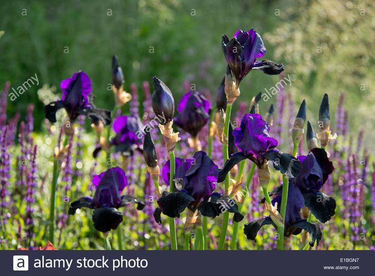 stock photo iris germanica deep black in the cloudy bay garden at the rhs chelsea flower show london uk