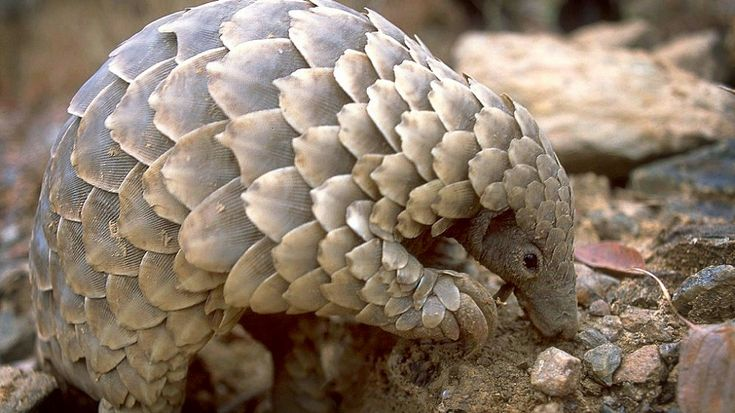 "Tragic hunting of critically endangered Pangolins for scales & meat: ""Pangolin scales worth HK$17m found hidden in shipments from Africa."""