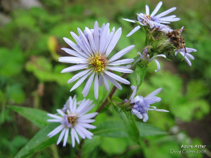 Azure Aster (Symphyotrichum oolentangiense) • Family: Aster (Asteraceae)  • Habitat: Dry areas, prairie-like areas, edges of woods. South Ontario only • Leaves: Feel like fine sandpaper. Few teeth or toothless, not deeply lobed. Lower leaves are long arrowhead-shaped. • Height: up to 100cm • Flower size: flowerheads 1 to 3 cm across • Flower color: Sparse azure blue ray flowers • Flowering time: August to October  • Photo by Doug Colter