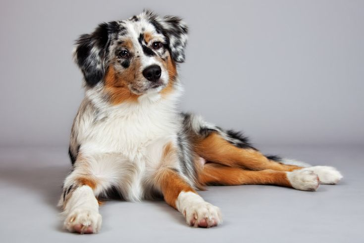 Hottest Snap Shots Mini Border Collies Popular The Particular Perimeter Collie Hails From Your Borderla Dog Breeds Little Mini Australian Shepherds Aussie Dogs