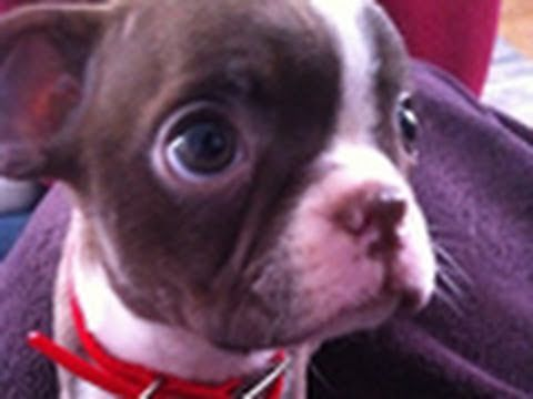"""""""Sophisticated Sophie"""" - A Boston Terrier Puppy Video 