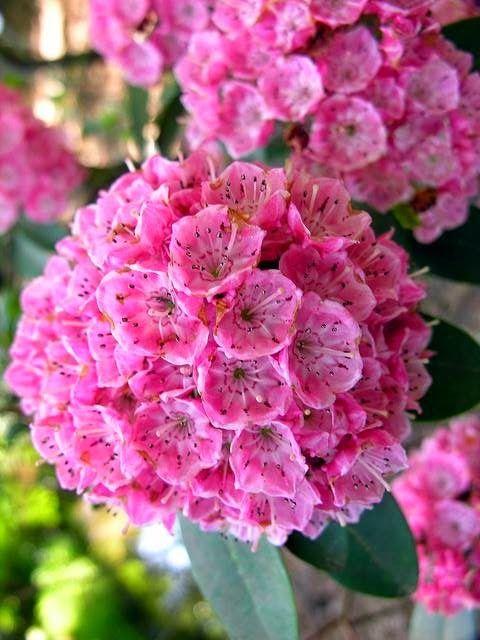 Kalmia Latifolia ~ Кальмия (лат. Kalmia) — род североамериканских вечнозелёных кустарников семейства Вересковые (Ericaceae). Насчитывается восемь видов, три из которых — популярные красивоцветущие садовые растения[ Все виды ядовиты.