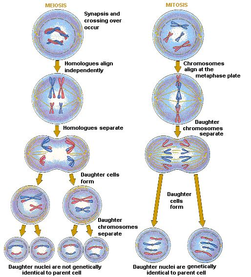 Mitosis & Meiosis.... Learned to love it!