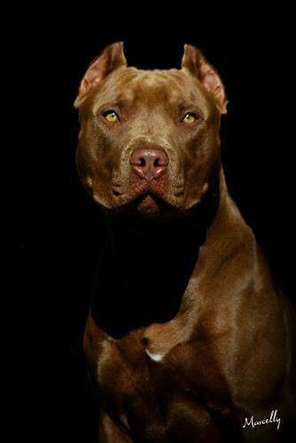 "Pit Bull red nose adulto. Foto HD. Cão ""Arik of Gidany"". Dog portrait, black background. Fundo preto. Close."