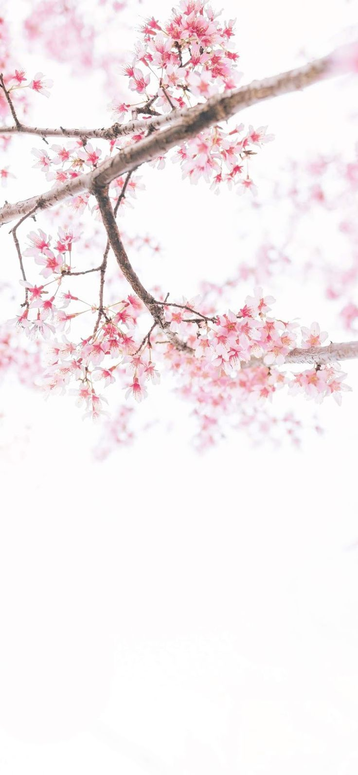 Iphone Wallpaper Cherry Blossom Wallpaper Iphone Xs Max Wallpaper Kirschblute Wallpaper Schone Tapeten Hintergrundbilder Iphone