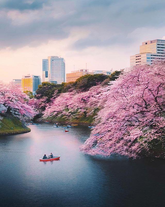 Chidorigafuchi Japan Tokyo Cherry Blossoms Best Honeymoon Spots Honeymoon Spots Japan Tourist