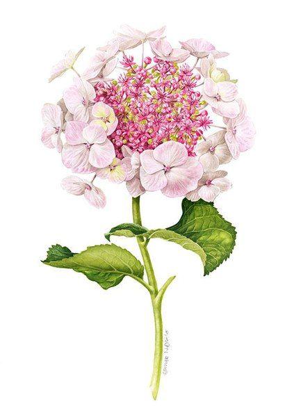 Deze hortensia staat in ruime hoeveelheid rond ons huisje. Beeldschoon!