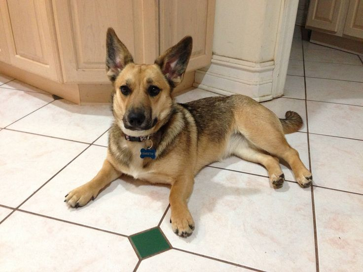 German Shepard/Corgi mix. looks like a midget German Shepard OH LAWD SO CUTE