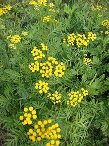 Tanacetum vulgare (Tansy) attract beneficial insects (Lacewings, Ladybugs, Parasitic mini wasps, Tachinid Fly).  It is also medicinal (gout tonic, expel worms), and used in recipies.