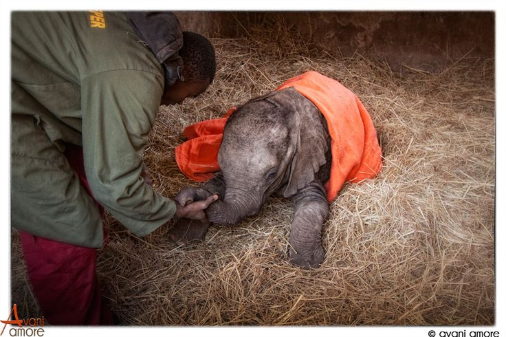 #Elephant orphan just rescued.  I had the privilege of being part of the rescue team. 13 hours of travel through the night resulted in saving this much in need younster. Photo by #avaniamore  www.avaniamore.com