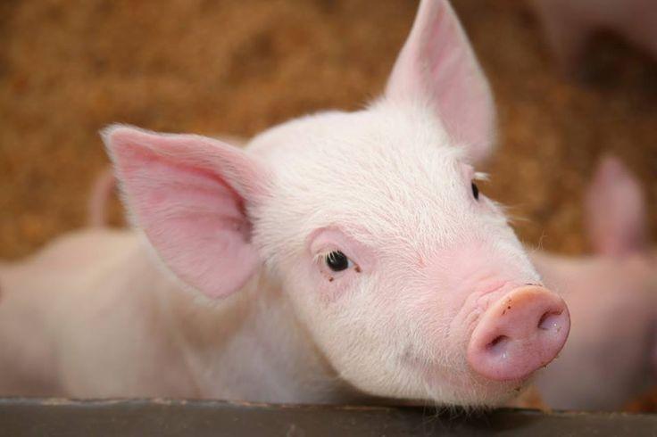 Little Piggie Dog Treats