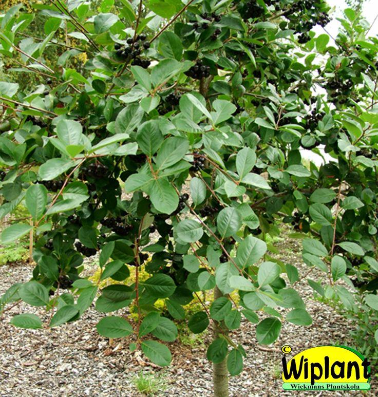 Aronia på stam. Bär-aronia, Aronia melanocarpa 'Viking'. Stora svarta nyttiga bär. Fin höstfärg. Höjd: 3-5 m.