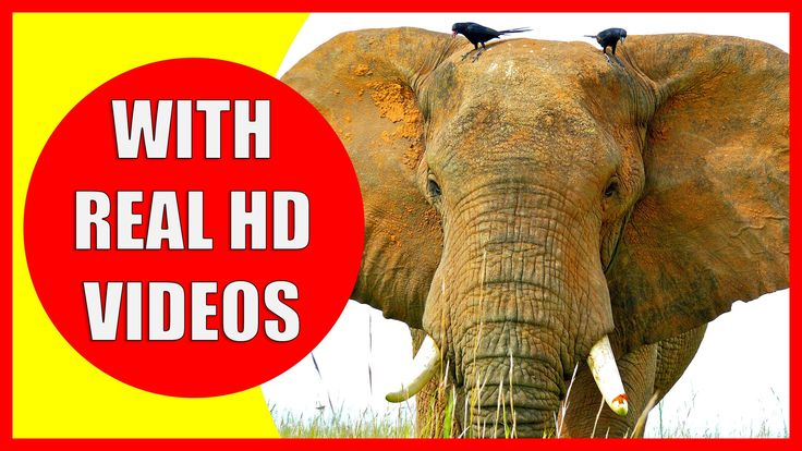 Elephant Information for Kids: What do elephants eat? Where do elephants live? How long do elephants live? How does an elephant sound? Do you know the weight of an elephant? Let us learn about some interesting facts about elephants. This educational video for kids will help your children learn about elephants as well as showing some interesting facts about elephants for children. We also included elephant sounds, HD footage of an african elephant, information about elephants habitat and a…