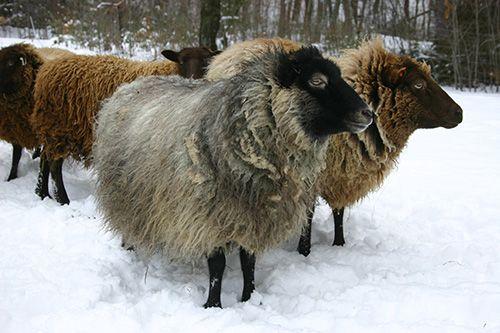 More Beautiful Shetland Sheep Fibre Sheep Sheep Lamb