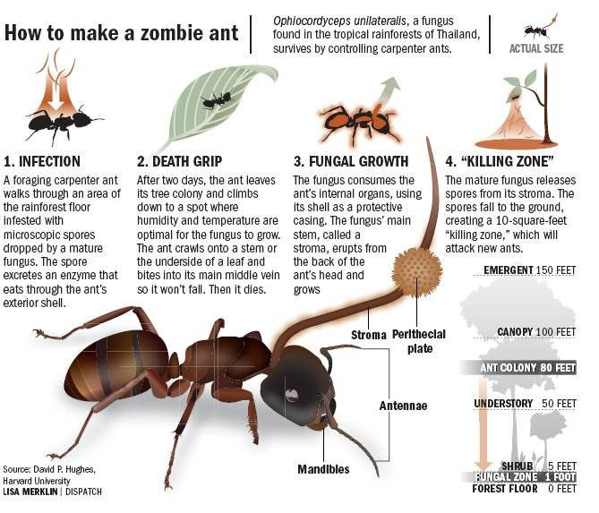 HOW TO MAKE A ZOMBIE ANT The fungus Ophiocordyceps unilateralis is ...