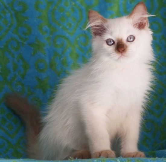 cinnamon point ragdoll kitten