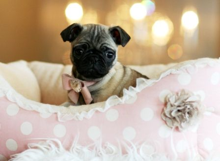 Miniature tea cup Pug Puppies | Pugs for Sale