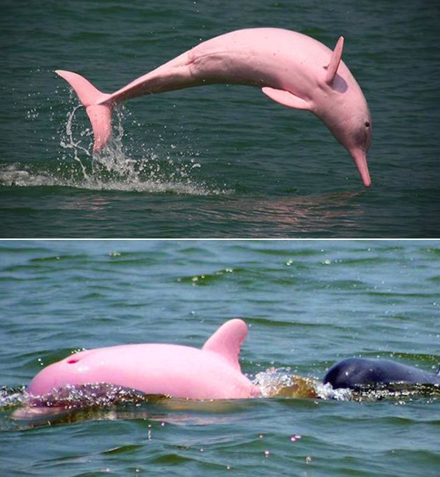 Dolphins, Pink Dolphin, Pokemon In Real Life